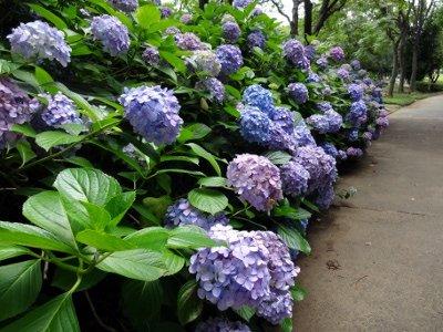 香澄公園のあじさいがきれいでした。