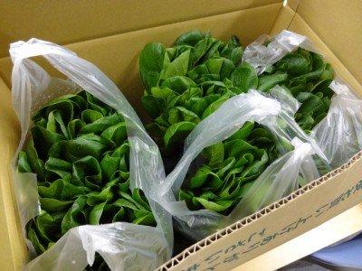 今回のコンテンツのために配達して頂いた西船橋産小松菜